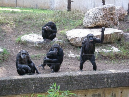 Chimpanzees-440x330.jpg