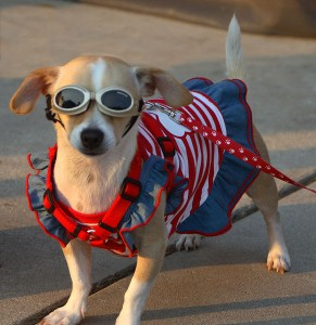Patriotic Pampered Pocket Pooch Posing Proudly - Photo by Randy Robertson